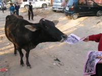 delhi_daily_news_animal_flyer_cow064.jpg